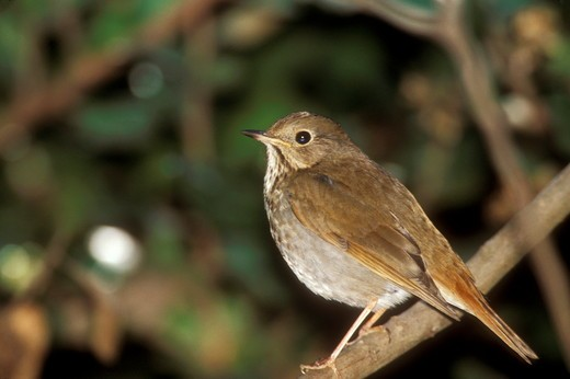 Hermit Thrush (Catharus guttatus), MT : Stock Photo