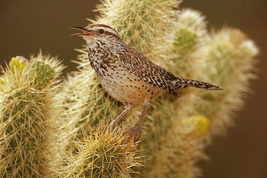 Stock Photo: 4179-10472 Cactus Wren in Teddy Bear Cholla Cactus, Deep Canyon NR, Riverside Co., CA (Campylorhynchus brunneicapillus)