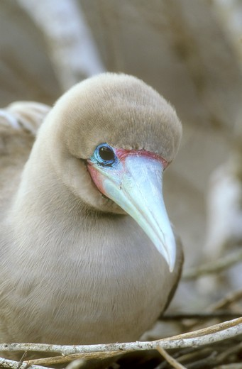Stock Photo: 4179-1069 Red-footed Booby (Sula sula websteri)