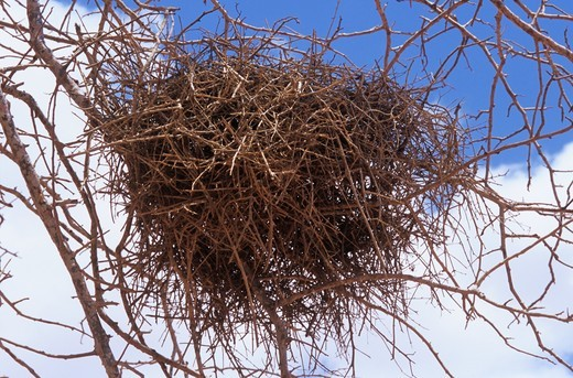 Stock Photo: 4179-10822 Red-billed Buffalo Weaver (Bubalornis niger) Nest in Tree (Delonia elata) Tsavo East NP, Kenya