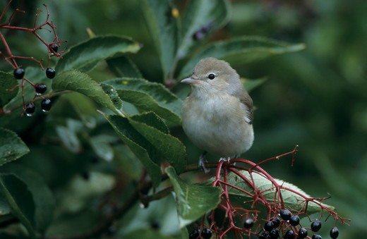 Garden Warbler (Sylvia borin) Adult on Common Elderberry (Sambucus nigra), Oberaegeri, Switzerland, September 1998 : Stock Photo