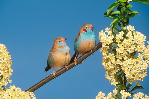 Stock Photo: 4179-10937 Red-cheeked Blue Waxbill (Uraeginthus bengalus), pair,