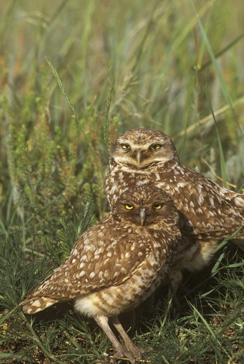 Burrowing Owls (Speotyto cunicularia) North Dakota, USA : Stock Photo