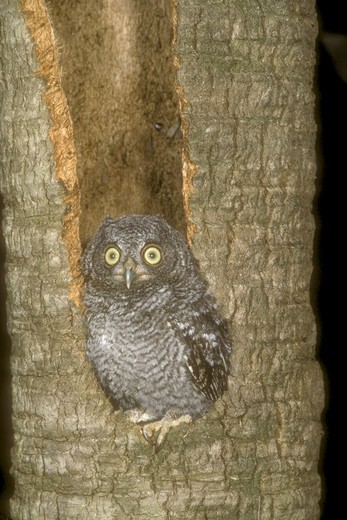 Eastern Screech Owl (Otus asio) Fledgling : Stock Photo