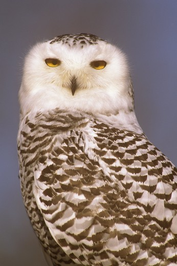 Snowy Owl (Nyctea scandiaca) MN Minnesota : Stock Photo