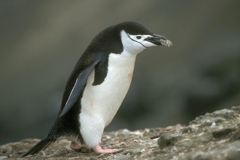 Chinstrap Penguin (Pygoscelis antarctica) carrying stones. Antarctica Pen : Stock Photo