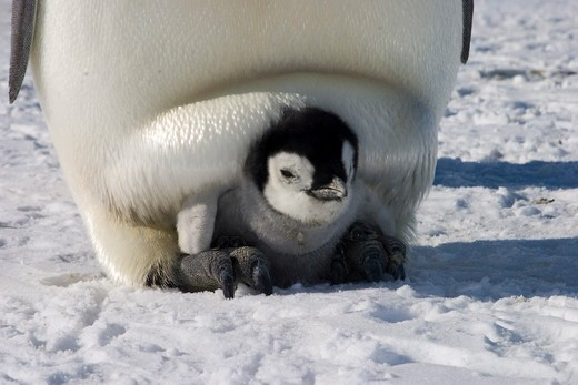 Stock Photo: 4179-11811 Emperor penguin (Aptenodytes forsteri) brooding chick, foot support, Western Ross Sea colony, Antarctica