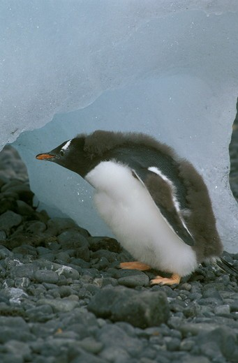 Stock Photo: 4179-11889 Gentoo Penguin Chick emerging from its cave Antarctic Peninsula