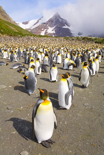 Stock Photo: 4179-11982 King Penguins (Aptenodytes patagonicus) adults, resting, walking, interacting, some moulting, near penguin rookery on beach, fall morning, mountains in background, Right Whale Bay; Southern Ocean; Antarctic Convergance; South Georgia Island