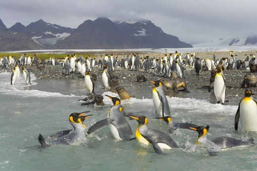 A raft of King Penguins (Aptenodytes patagonicus)  swimmng and washing their feathers to maintain their insulating properties in cold climate, near beaches of  Salisbury Plain, Southern Ocean, Antarctic Convergance  South Georgia Island : Stock Photo