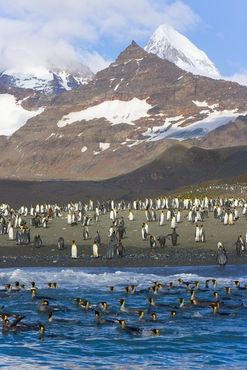King Penguin (Aptenodytes patagonicus) rookery on shore, with rafts of birds swimming and washing in sea to clean their feathers, majestic Allardyce Range in background,  fall, St. Andrews Bay; Southern Ocean; Antarctic Convergance; South Georgia Island : Stock Photo