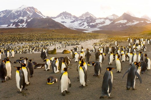 King Penguins (Aptenodytes patagonicus) in crowded coastal rookery along glacial river, majestic Allardyce Range and glacier in background, fall, St. Andrews Bay; Southern Ocean; Antarctic Convergance; South Georgia Island : Stock Photo