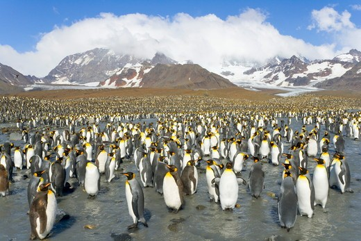 Stock Photo: 4179-12023 King Penguins (Aptenodytes patagonicus) walking, interacting, resting along the river  near penguin rookery against backdrop of snowy Allardyce Range, St. Andrews Bay; Southern Ocean; Antarctic Convergance; South Georgia Island