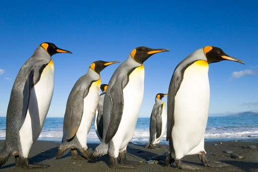 Stock Photo: 4179-12045 King Penguins (Aptenodytes patagonicus) adults walking on beach, fall evening, Gold Harbour; Southern Ocean; Antarctic Convergance; South Georgia Island