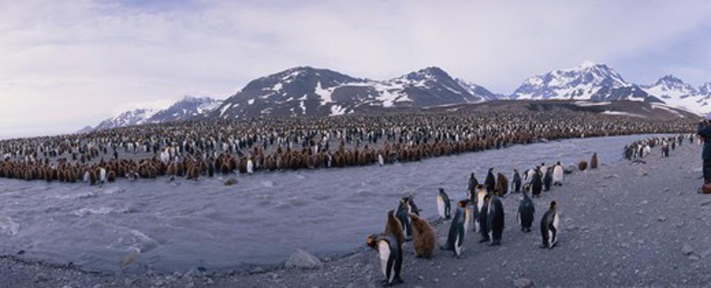 Stock Photo: 4179-12060 Huge King Penguin Colony, St. Andrews Bay, S. Georgia I., Antarctica (Aptenodytes p. patagonica)