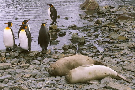 Stock Photo: 4179-12067 King Penguin & Elephant Seal South Georgia Island Antarctica