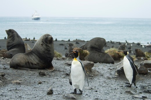 King Penguins and Fur  Seals at Right Whale Bay,   South Georgia two different species together : Stock Photo