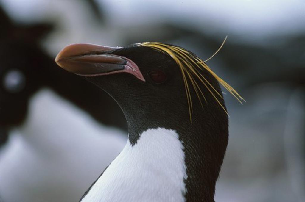 Stock Photo: 4179-12143 Macaroni Penguin (Eudytes chrysolophus) Antarctic Peninsula