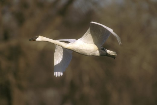 Stock Photo: 4179-12537 Trumpeter Swan in Flight (Cygnus buccinator), Wright Co., Minnesota