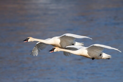 Trumpeter Swans (Cygnus buccinator) in flight; rusty stains on plumage are from ironoxide in water; over Mississippi River; Minnesota; USA : Stock Photo