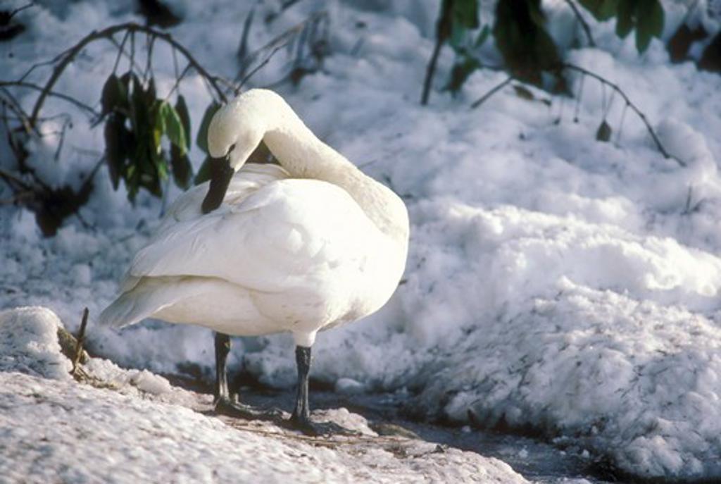 Whistling Swan aka Tundra Swan (Olor columbianus) Juneau, AK : Stock Photo