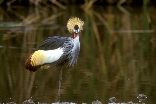 Stock Photo: 4179-1294 Crowned Crane standing (Balearica regulorum) adult Nairobi Natl Park - Kenya