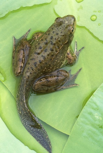 Stock Photo: 4179-13133 Developing Green Frog w/ Tadpole Tail (Rana clamitans), Michigan