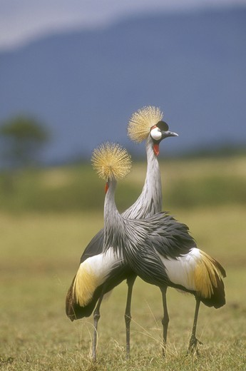 Pair of Crowned Cranes, Africa : Stock Photo
