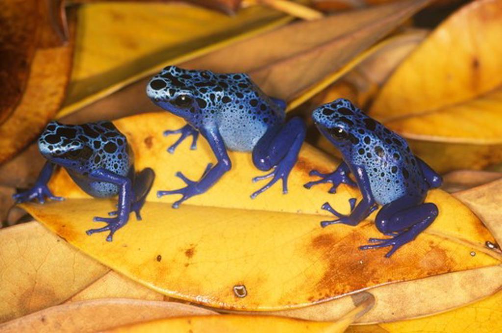 Blue Poison Arrow Frog (Dendrobates azureus), captive, born in zoo : Stock Photo