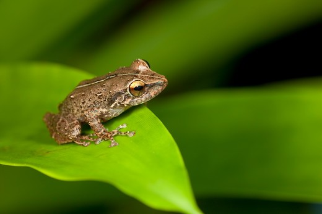 Common Coqui (Eleutherodactylus coqui) 'Wild', El Verde, El Yunque NF, Puerto Rico : Stock Photo