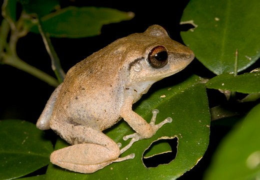 Stock Photo: 4179-13627 Red-eyed Coqui (Eleutherodactylus antillensis) St. John, Virgin Islands