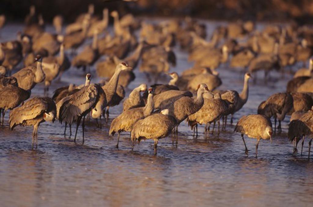 Sandhill Cranes (Grus canadensis) in Platte River near Kearney, NE : Stock Photo