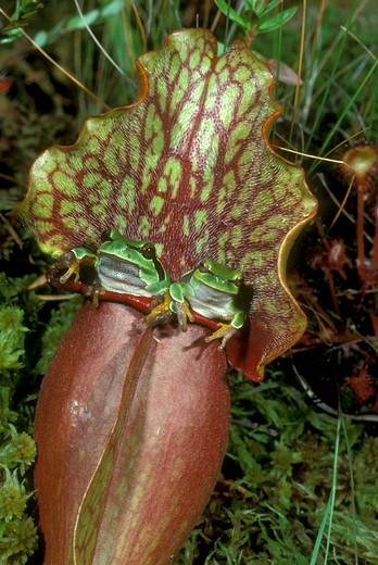 Stock Photo: 4179-13754 Pine Barrens Treefrogs (Hyla andersoni), in pitcher plant blossom