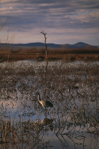 Lone Sandhill Crane (Grus canadensis), Bosque del Apache NWR, New Mexico : Stock Photo