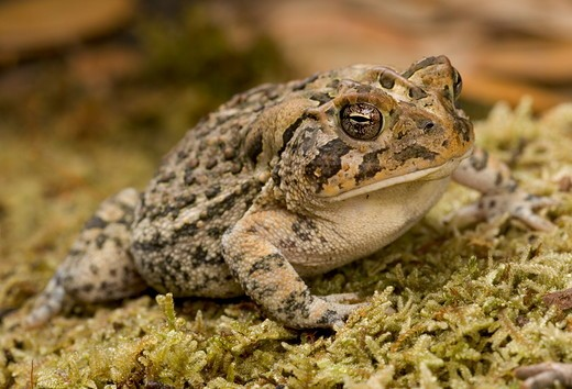 Southern toad (Bufo terrestris) Controlled situation Florida : Stock Photo