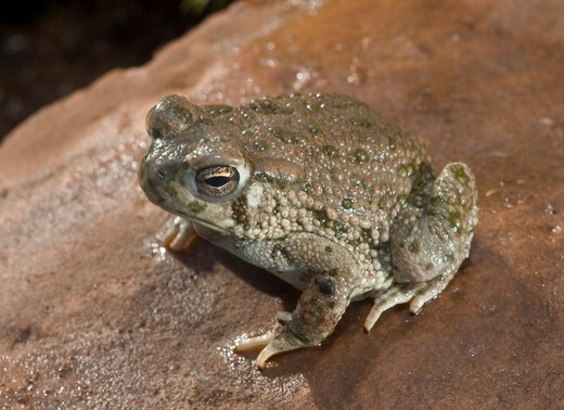 Texas toad (Bufo speciosus) on rock Midwest US controlled conditions : Stock Photo