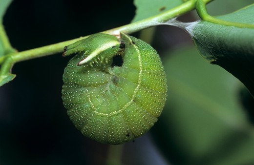 Stock Photo: 4179-14132 Giant Charaxes Caterpillar hanging pre Pupation (Charaxes castor), Kenya Coast