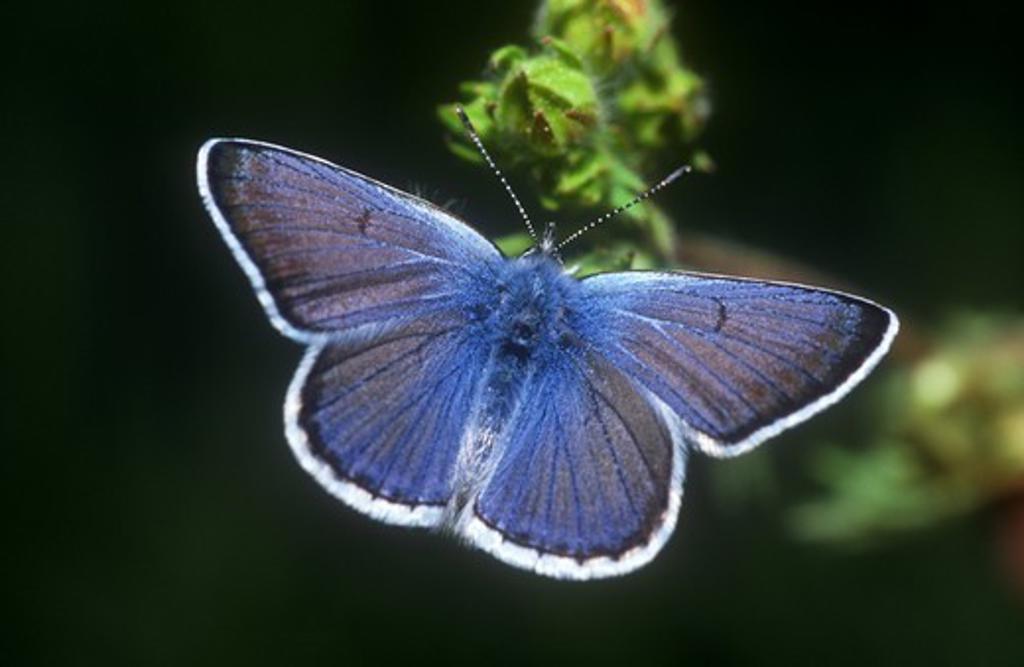 Stock Photo: 4179-14357 Boisduval's Blues (Plebejus icarioides) male, Inyo NF, California