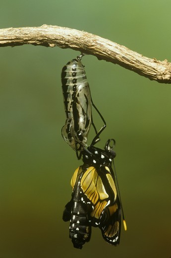 Stock Photo: 4179-14399 Themisto Clearwing Butterfly Metamorphosis, (Methona themisto) emerging, Brazil