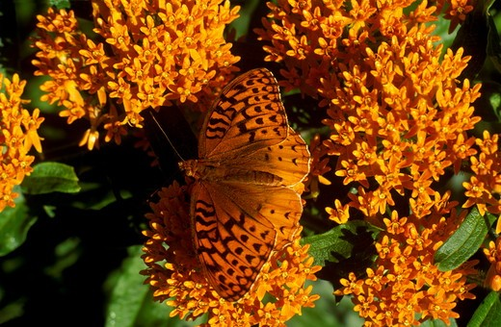 Great Spangled Fritillary BF on Butterfly Milkweed (Speyeria cybele) : Stock Photo