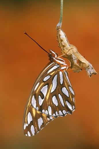 Stock Photo: 4179-14470 Gulf Fritillary (Agraulis vanillae), newly hatched, on pupal case, native to FL