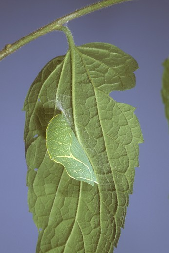 Stock Photo: 4179-14516 Hackberry Butterfly Pupa (Cettis occidentalis), on Hackberry Leaf, NJ