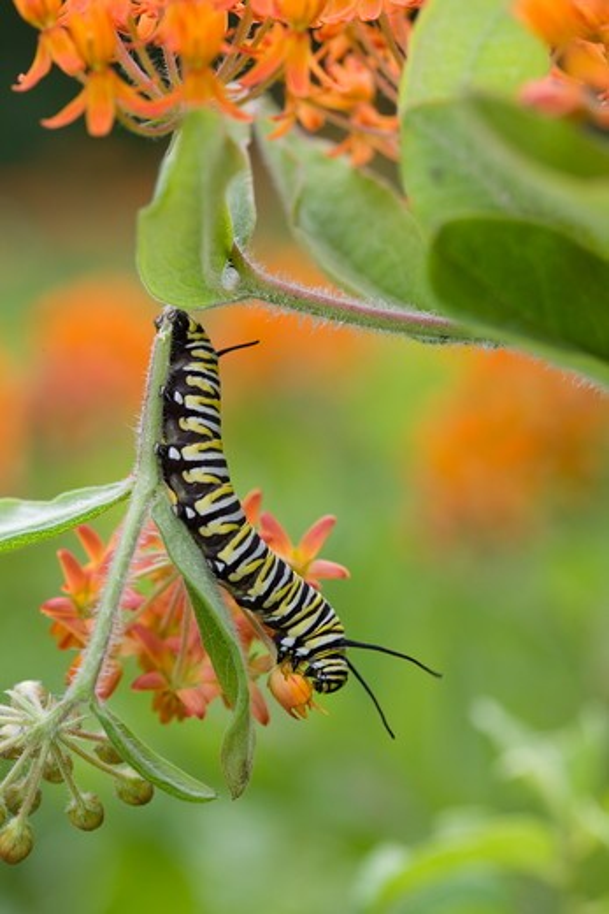 Stock Photo: 4179-14635 Monarch Caterpillar  on butterflyweed (Asclepias tuberosa) PA, Philadelphia, Schuylkill Center