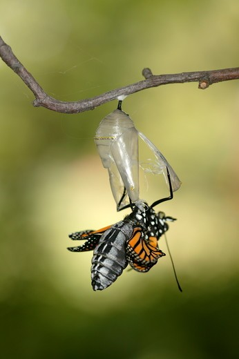 Stock Photo: 4179-14660 Monarch (Danaus plexippus); summer; Wisconsin; prarie; Butterfly emerging from clear chrysalis hanging from branch against green bkgrd.