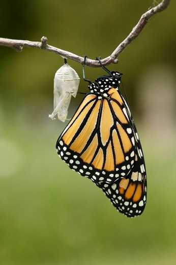 Monarch (Danaus plexippus); summer; Wisconsin; prairie; Newly emerged butterfly drying wings; hanging upside down from clear chrysalis shell on branch; green foliage bkgrd. : Stock Photo