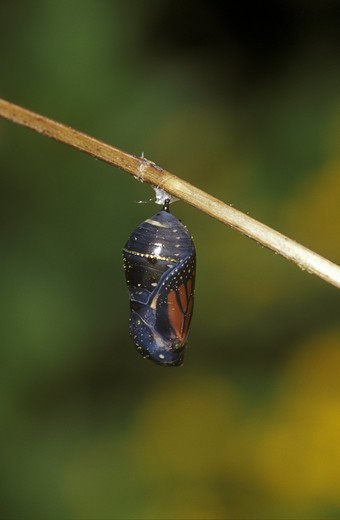 Monarch (Danaus plexippus) pupa/chrysalis  before emergence Marion Co. IL : Stock Photo