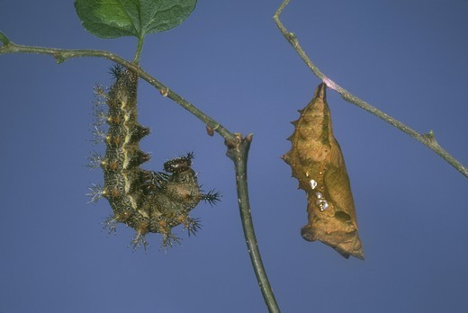 Stock Photo: 4179-14896 Questionmark Caterpillar and Pupa (Polygonia interrogationis), NJ