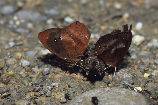 Stock Photo: 4179-14912 Satyr or Brown Butterflies, males feeding on Dung (Lymanopoda dietzi), Cloud Forest, Ecuador