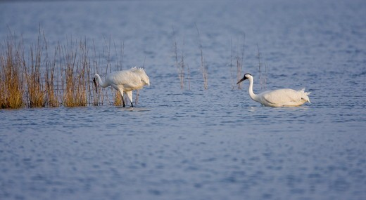 Whooping Cranes foraging in Saltmarsh (Grus americana) Texas : Stock Photo