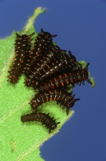 Stock Photo: 4179-15150 Pipevine Swallowtail Caterpillars, 2nd Instar (Battus philenor) NJ